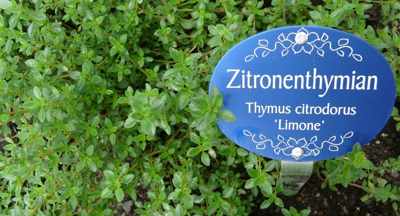 Zitronen Thymian